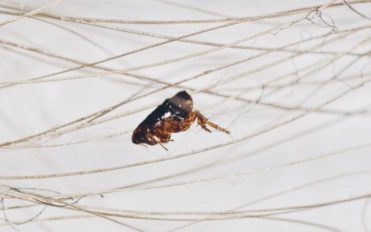Effective tips to get rid of fleas at home