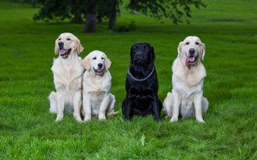 Eight most popular dog breeds