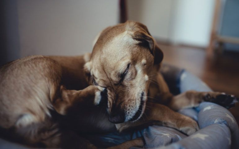 Essential flea medicines to keep your canine's fur healthy