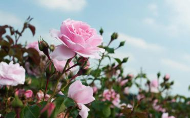 Right way to prune your rose bushes