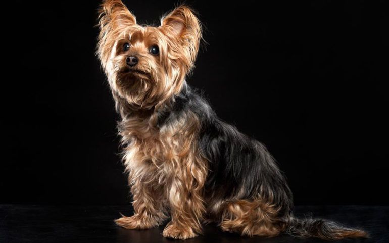 Things you need to find out about a Yorkie on sale