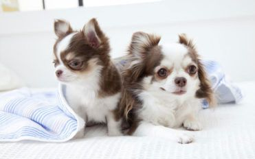 Care guide for your chihuahua