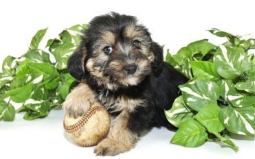 Facts you didn't know about Morkie puppies