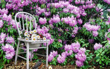 Guide to prune Azaleas