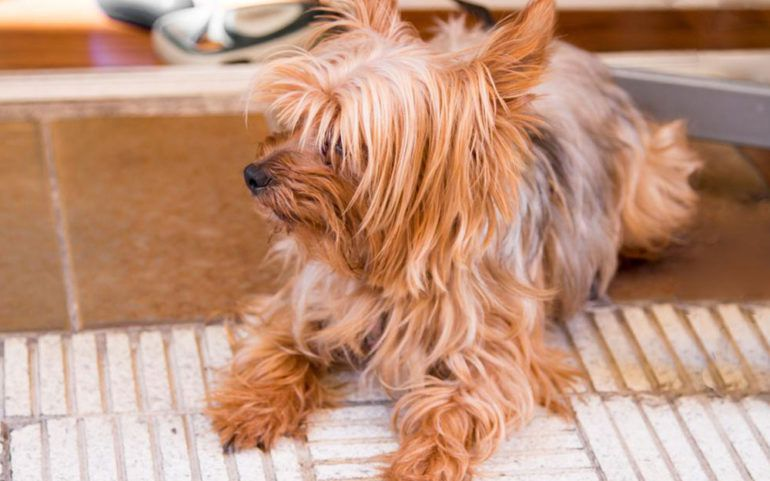 Home remedies for flea infestation
