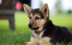 How Ready Are You for Your German Shepherd Pups