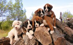 How is pricing done in the case of boxer puppies sale?