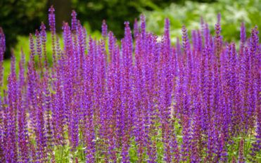 How to grow lavender flower plants