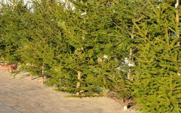 How to keep your pine Christmas tree fresh