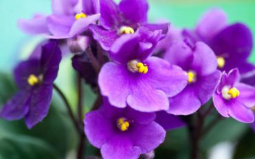 Know your African violets
