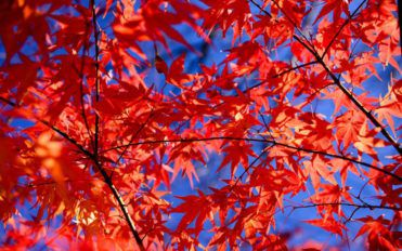 Maple trees – pruning, benefits and interesting facts