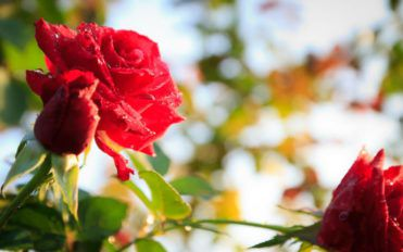 Perfect care for your roses