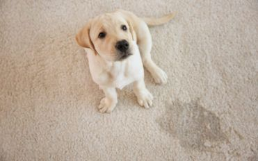 Popular Techniques and Products for Removing Pet Stains