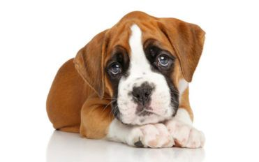 Popular boxer puppies breeders in the country