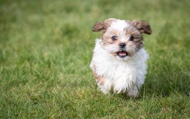 Shih Tzu puppies sale in the US