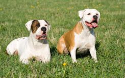 Things to know if you own a english bulldog