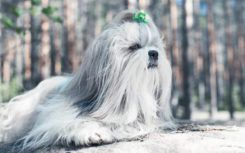 Things you must look for when buying a Shih Tzu puppy