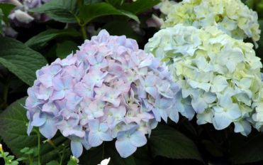 Tips on how to plant and take care of hydrangea plants