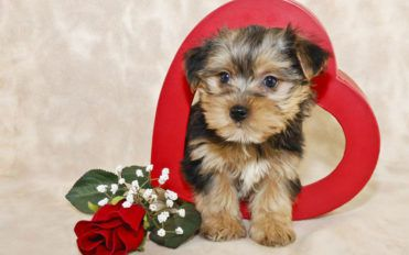 Tips to bring up a Morkie puppy