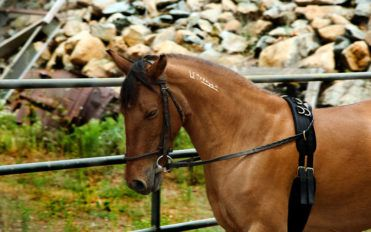 4 common aids used to train horses